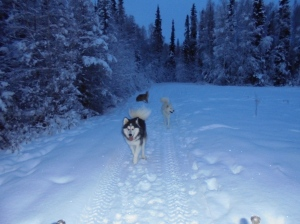 Wooley, Polar and Sasha exploring trail conditions.