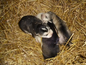 Puppies piled on fresh straw. They are 12 days old here.