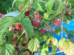 Raspberries right at the back of the house.