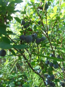 Blueberries just waiting for me to pick them.