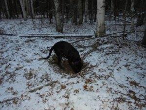 Bella digging for squirrels.
