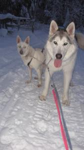 Oni and Loup on a short run. Loup is a big Malamute and Oni looked pretty small next to him!